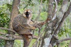 Красн-противостоят коричневый lemur, остров lemur, andasibe Стоковые Фото