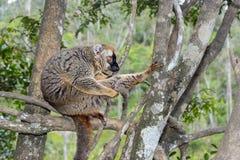 Красн-противостоят коричневый lemur, остров lemur, andasibe Стоковая Фотография RF