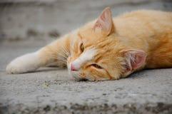 Красн-с волосами кот Стоковые Изображения
