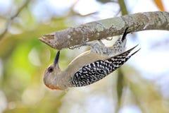 Красн-увенчанный Woodpecker Стоковые Изображения