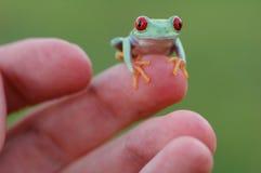Красн-eyed treefrog (callidryas Agalychnis) стоковые изображения