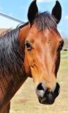 Красота аравийской лошади залива Стоковое Изображение RF