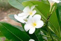 Красота белых цветков Стоковое Изображение RF
