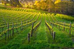 Красота виноградника стоковое изображение