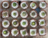 Красота кактуса в баках Стоковое Фото