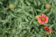 Красота красного и живого оранжевого цветка Стоковое фото RF