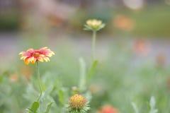 Красота красного и живого оранжевого цветка Стоковые Изображения