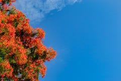 Красота красных цветка или pulcherrima l Caesalpinia Sw Стоковое Фото