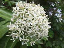 Красота одного из белых цветков asoca стоковые фото