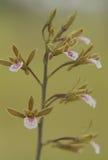 Красота орхидей Стоковое Изображение