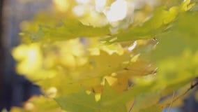 Красота осени, красочный конец-вверх листьев акции видеоматериалы