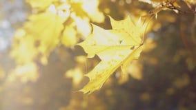 Красота осени, красочный конец-вверх листьев сток-видео