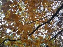Красота осени листьев дуба Стоковые Изображения