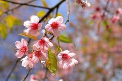 Красота одичалого гималайского вишневого дерева Стоковая Фотография RF