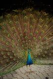 Красота павлина Стоковые Изображения RF