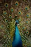 Красота павлина Стоковая Фотография RF