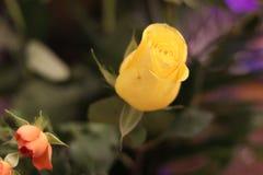 Красота подняла с более малой розой апельсина Стоковая Фотография RF