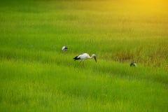 Красота полей риса стоковая фотография rf