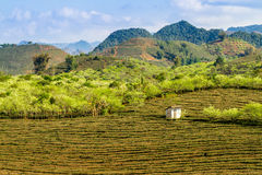 Красота плантаций сливы и чая Стоковое Изображение