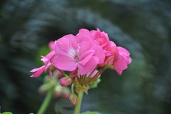 Красота свежих цветков конца крайности лист зеленого цвета природы вверх Стоковое Фото