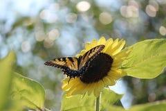 Красота солнцецвета Стоковое Изображение RF