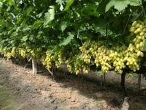 Красота ссылается к виноградинам Стоковые Изображения