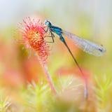 Красотка вставленная в Sundew Стоковое фото RF