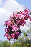 красотка чувствительная зацветая вал вишни Стоковые Фото