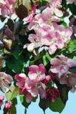 красотка чувствительная зацветая вал вишни Стоковая Фотография