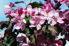 красотка чувствительная зацветая вал вишни Стоковое Фото