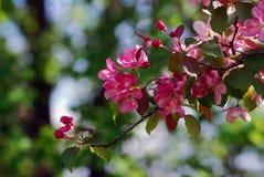 красотка чувствительная зацветая вал вишни Стоковое Изображение RF