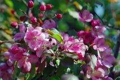 красотка чувствительная зацветая вал вишни Стоковое Изображение