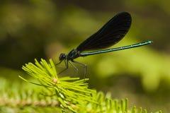 Красотка чёрного дерева jewelwing - maculata Calopteryx Стоковые Изображения