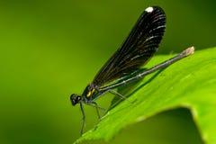 Красотка Jewelwing чёрного дерева Стоковые Изображения