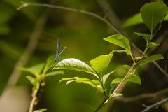 Красотка Jewelwing чёрного дерева Sunlit металлической бирюзы мужская на лист Стоковое Изображение RF