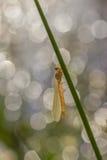 Красотка, Lestidae Стоковое фото RF