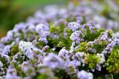 ` Красоты сада ` Hebe зацветая весной в садах Окленда ботанических Стоковые Изображения RF