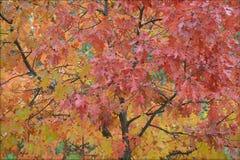 Красочная абстракция листвы дуба стоковые изображения rf