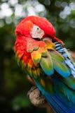 Красочная ара попугая Стоковая Фотография RF