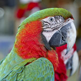 Красочная ара птицы попугая, зеленых и красных Стоковые Фотографии RF