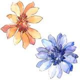 Красочная африканская маргаритка Флористический ботанический цветок Изолированный элемент иллюстрации бесплатная иллюстрация