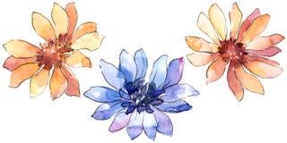Красочная африканская маргаритка Флористический ботанический цветок Изолированный элемент иллюстрации иллюстрация вектора