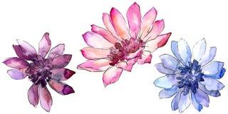 Красочная африканская маргаритка Флористический ботанический цветок Изолированный элемент иллюстрации иллюстрация штока