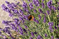 Красочная бабочка на зацветая цветках лаванды Стоковое фото RF