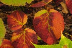Красочная ведьма хромает листья lantanoides калины в осени внутри стоковые изображения rf