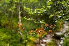 Красочная ветвь дерева в лесе в национальном парке Rondane Стоковое Фото