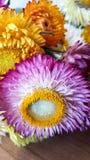Красочная высушенная вековечная солома цветет крупный план Бумажные маргаритки Стоковое Изображение