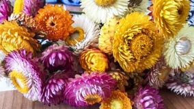 Красочная высушенная вековечная солома цветет крупный план Бумажные маргаритки Стоковая Фотография