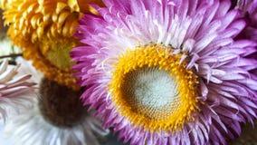 Красочная высушенная вековечная солома цветет крупный план Бумажные маргаритки Стоковое Изображение RF