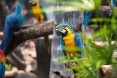 Красочная голубая птица попугая ары Стоковое фото RF